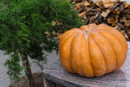 Beautiful autumn composition with ripe pumpkin on a background of wood decks firewood and green bush. Thanksgiving holiday concept. Autumn harvest, fall vegetables. texture for design