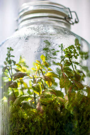 Plants in a closed glass bottle. Terrarium jar small ecosystem. Moisture condenses on the inside of the glass. The process of photosynthesis. Water vapor is created in the humid environment and then absorbed back into the soil and roots of the plants. Reklamní fotografie