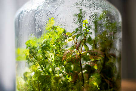 Plants in a closed glass bottle. Terrarium jar small ecosystem. Moisture condenses on the inside of the glass. The process of photosynthesis. Water vapor is created in the humid environment and then absorbed back into the soil and roots of the plants. Banco de Imagens