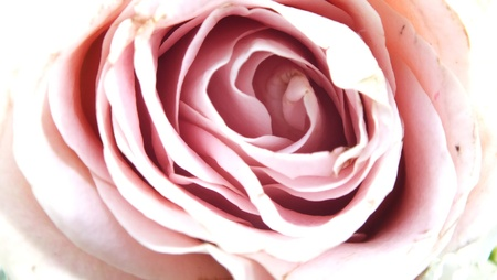 pink rose: close up of pale pink rose