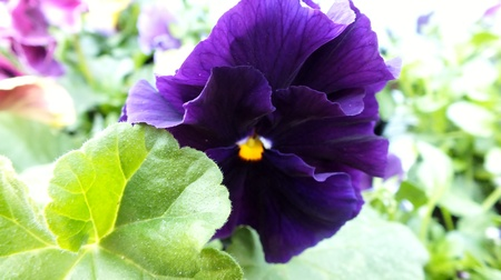 large purple pansy in sunny garden photo