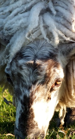 Grazing sheep, close up of face photo