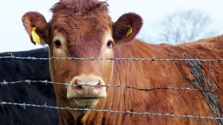 young brown cow behind barbed wire photo