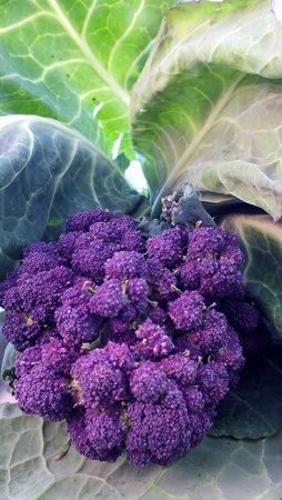 unusual vegetables: organic purple sprouting broccoli and cabbage