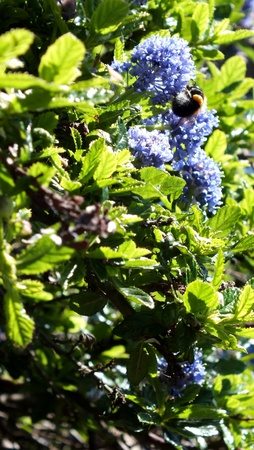Sunlight on a ceanothus bush with bumble bee photo