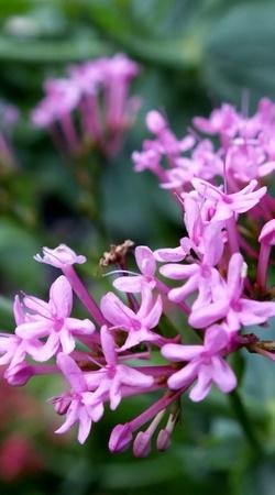 Valerian, pink flowers
