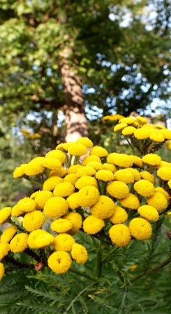 billy: Yellow Billy Ball flowers with tree in background Stock Photo