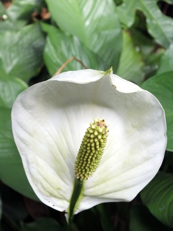 peace lily: Peace lily flower