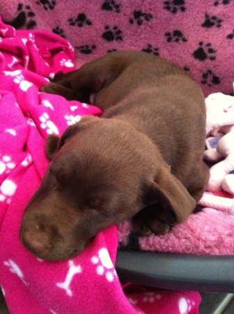 print: A cute chocolate brown Labrador puppy asleep on pink blankets with paw print pattern