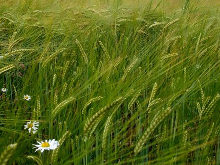 enviroment: Wild grasses and daisies in a summer meadow - fresh summer natural enviroment Stock Photo