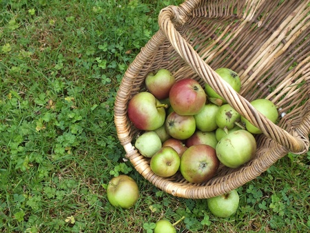 fallen fruit: Basket of wind fall red and green  apples