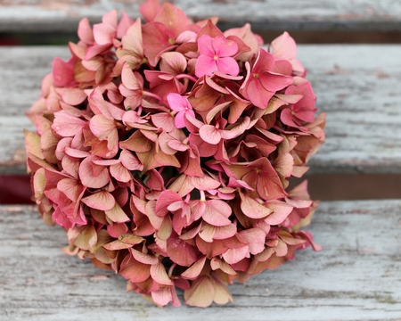 Faded autumn pink hydrangea on shabby chic bench, vintage, romantic retro feel photo