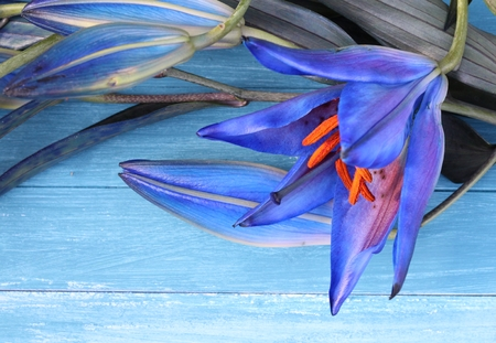 Cocktail lily, blue flowers on blue painted wood photo