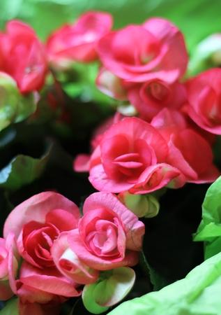 tissue paper: Pink begonia flower plant in bright green tissue paper