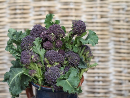 unusual vegetables: Organic purple sprouting broccoli in a blue ceramic jug , with a background of woven wicker  An unusual way of storing, or displaying vegetables