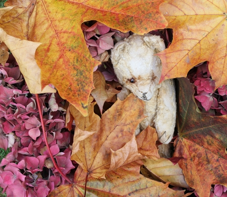 changing seasons: Vintage teddy bear heading among autumn leaves and foliage, fall colors of orange, brown, pink and red , changing seasons