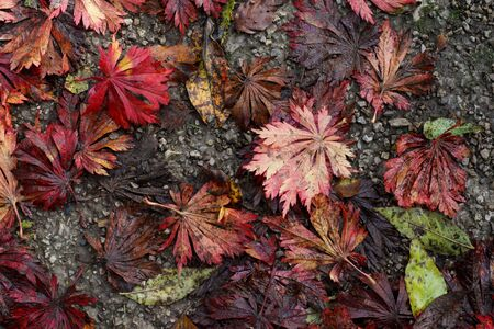 japanese fall foliage: Japanese maple tree leaves on the ground ,  autumn leaves, fall foliage Stock Photo