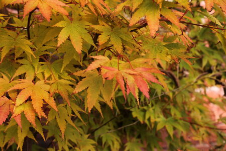japanese fall foliage: Japanese maple tree, yellow autumn leaves, fall foliage Stock Photo