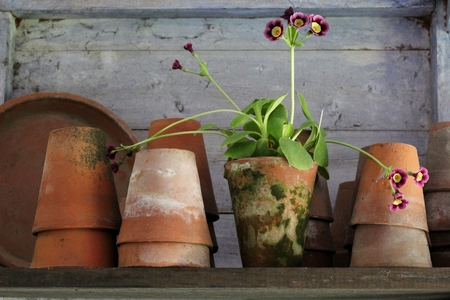 planters: Vintage ceramic plant pots and primula flower on a shelf in an old blue painted wooden shed Stock Photo