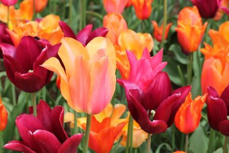 find similar images: Preview  ?Save to a lightbox?     ?Find Similar Images   ?Share?      Stock Photo:   Field of beautiful vibrant orange, pink and purple tulips , floral summer Stock Photo