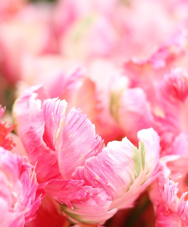 frilled: Tulip, Shallow depth of filed, underexposed Apricot Parrot, pink tulip with frilled edges, very pretty spring image Stock Photo