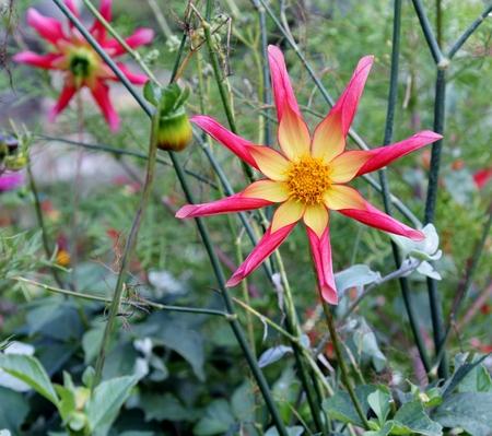 dahlia: flores de la dalia de la estrella, rosa y amarillo