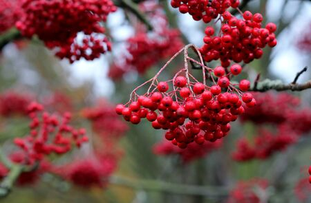 Red winter berries, shallow depth of field , autumn in UK