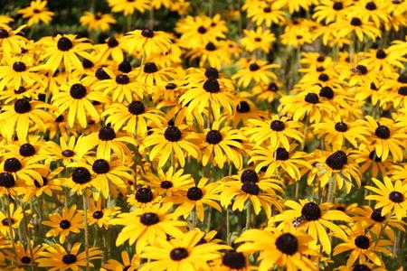 centres: Yellow daisy flowers, black centres Stock Photo