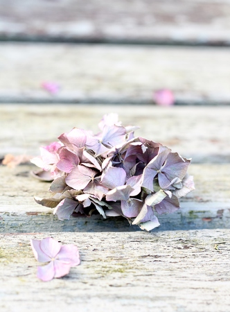 greys: Shades of greys, pinks and lilacs, dried hydrangea head on rustic wooden bench , shallow depth of field