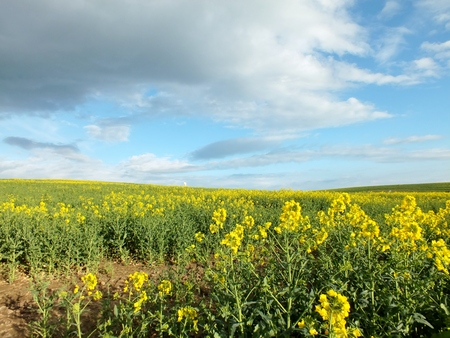 Yellow spring rape field with balmy , cloudy sky, Stock Photo