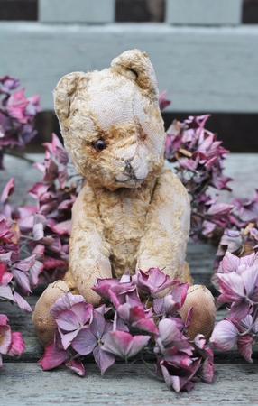 A cute old and scruffy vintage teddy bear sat on a wooden weathered bench , surronded by dried pink hydrangea Stock Photo