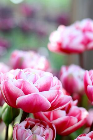 Beautiful double fox trot pink and tulips , shallow depth of field, spring time garden image 스톡 콘텐츠