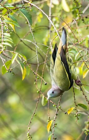 Treron vernans-The pink-necked green pigeon Фото со стока