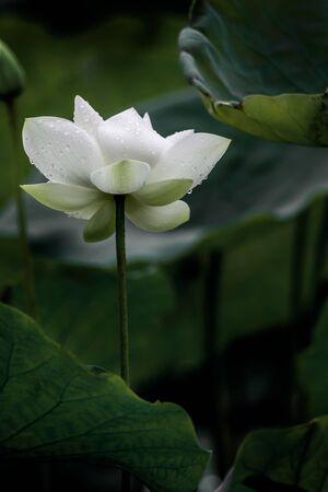 beautiful white lotus flower blossom