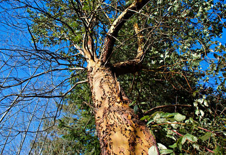 Looking up an Arbutus tree trunk with unique bark features higher level branches with foliage against blue sky Banco de Imagens
