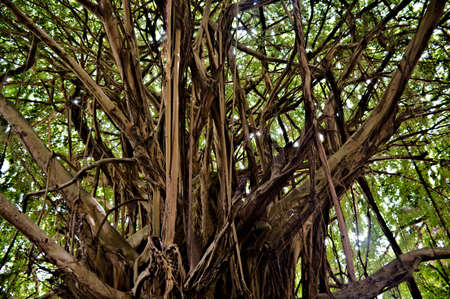 Closeup view Banyan tree with tree branches and trunk at the core of massive tropical specimen