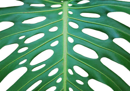 Isolated close up photo of monstera deliciosa