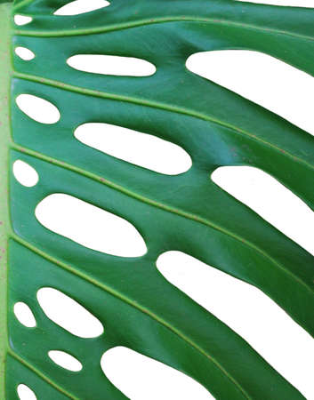 Isolated close up photo of monstera deliciosa Stock Photo - 4358080