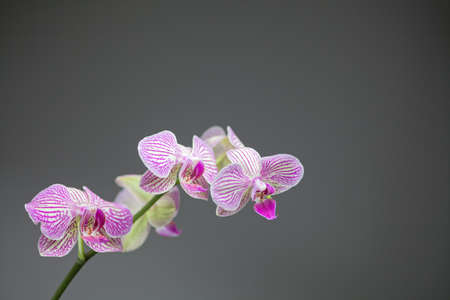 vignetting: Five white orchids flowers with pink stripes, three facing the camera, two facing the other way. Dark grey background with a light vignetting Stock Photo