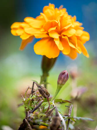 Consecutive stages of blossoming of an orange Marigold flower.
