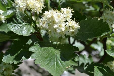 crata�gus: Hawthorn Crataegus �rbol florece en primavera Campo Foto de archivo