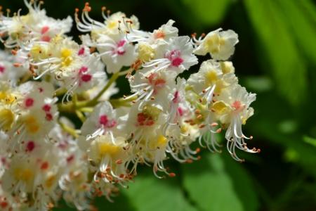 aesculus hippocastanum: Flowers of horse chestnut