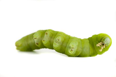 nocturnal: Nocturnal  caterpillar on white background.