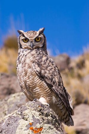 virginianus: Great Horned Owl (Bubo Virginianus) in Patagonia, Southern Argentina. Stock Photo