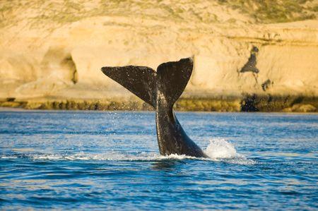 peninsula: Right whale, Peninsula Valdes, Patagonia, Argentina. Stock Photo