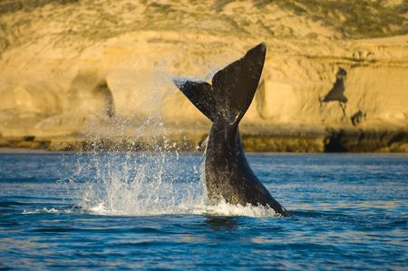 Right whale, Valdes Peninsula, Patagonia, Argentina. photo