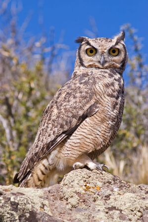 virginianus: Great Horned Owl  (Bubo virginianus) in the Patagonian steppe, Southern Argentina.