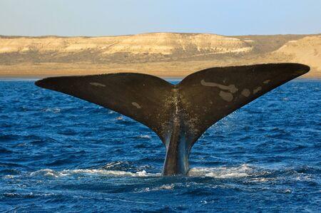 プエルト ・ ピラミデス、バルデス半島アルゼンチンのパタゴニアで右クジラ。