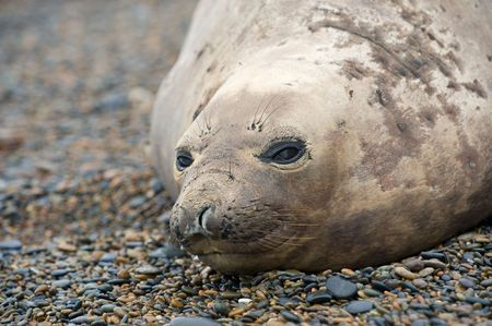 pinniped: Female southern elephant seal, in Valdes Peninsula, Patagonia, Argentina.