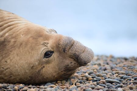 carnivora: Southern elephant seal, male, Valdes Peninsula, Patagonia Argentina. Stock Photo